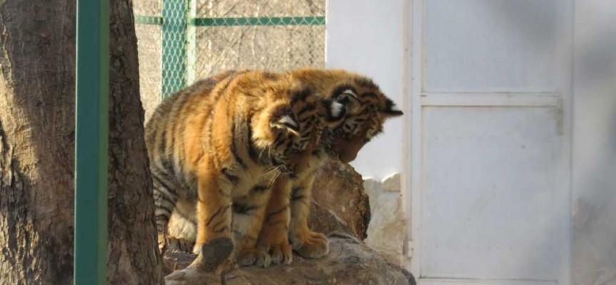 Вижте неделната следобедна игра на Найша и малките тигърчета в зоокъта на Пазарджик