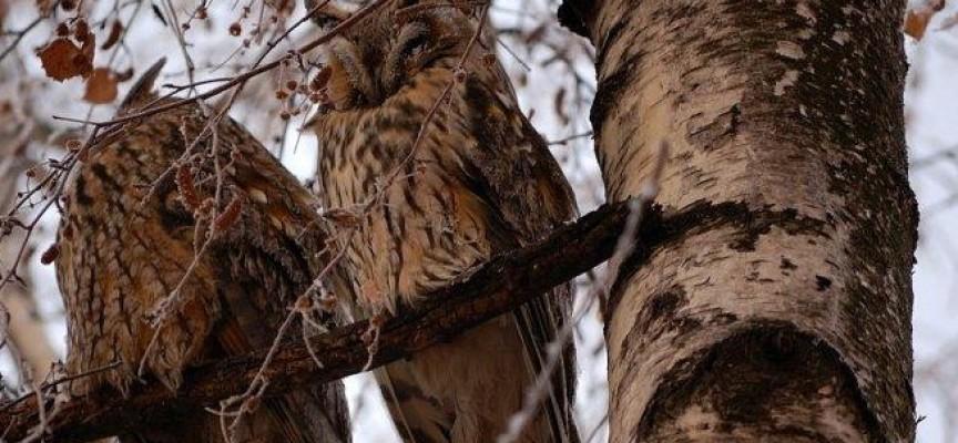 Откриха птичи грип в Пазарджик, две заразени ушати сови са дали положителен резултат