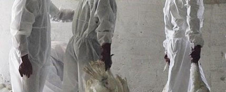 Пак върлува птичи грип, вижте мерките за предпазване