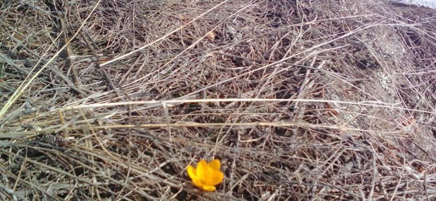Пролетта е близо, първият минзухар вече цъфна в Ракитово