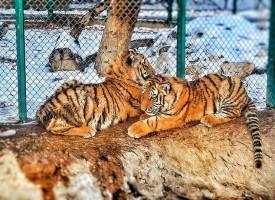 Оставаме само с тигърчето Хебър, Цезар отпътува за Варна