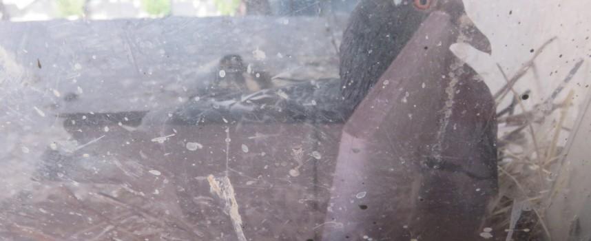 Гълъбица гнезди на перваза на прозореца на Пленарна зала в Пазарджик