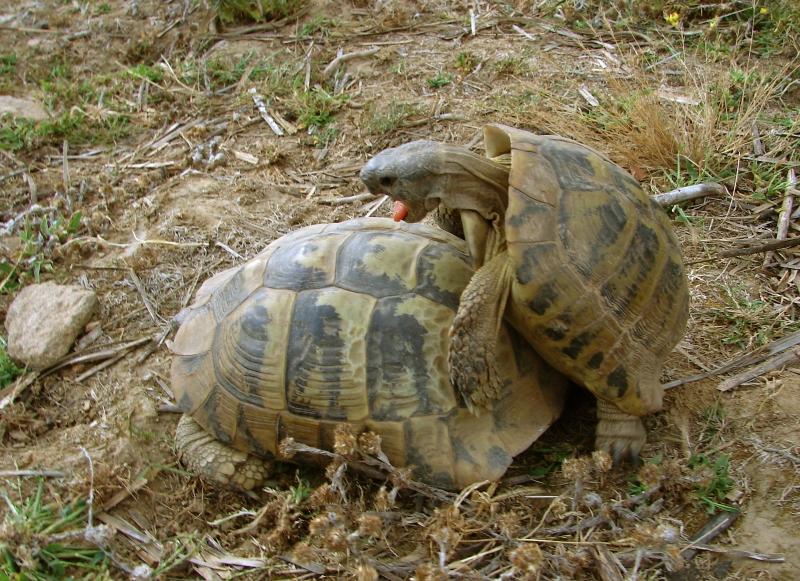 06костенурки - чифтосване