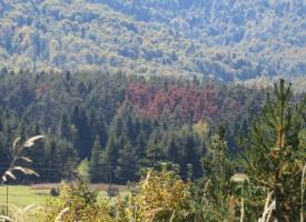Гъбично заболяване поразява боровите дървета в областта, гората вехне