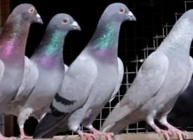 Братаница: Съселяни обраха гълъбовъд, разкриха ги