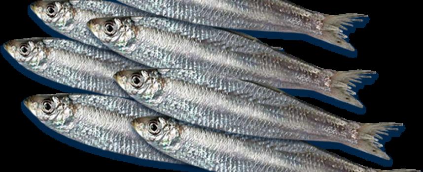 Активни потребители: Живак, олово и кадмий над нормата има в рибата, вижте
