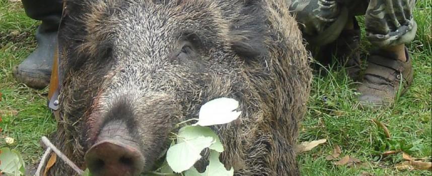 Кошмарът се завръща: Потвърден е случай на АЧС при отстреляно диво прасе в района на Панагюрище
