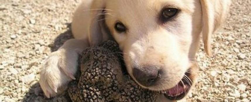 Хоби: Изберете дребно куче, за да ви намира трюфели