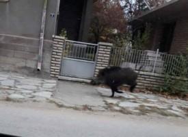 Диво прасе нацели патрулка, инцидентът станал край Бяга