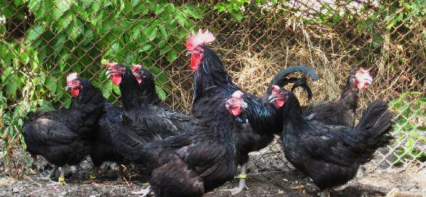 Заради псевдочумата: Умъртвиха хуманно 27 кокошки в Синитово