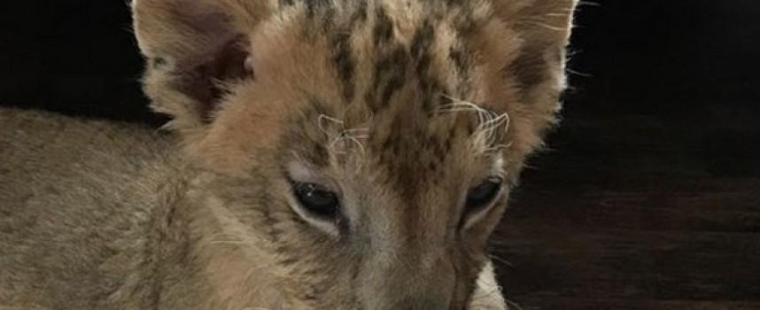 Вземаме две лъвчета от Разград