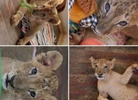 УТРЕ: Брифинг за лъвчетата свиква кметът Тодор Попов
