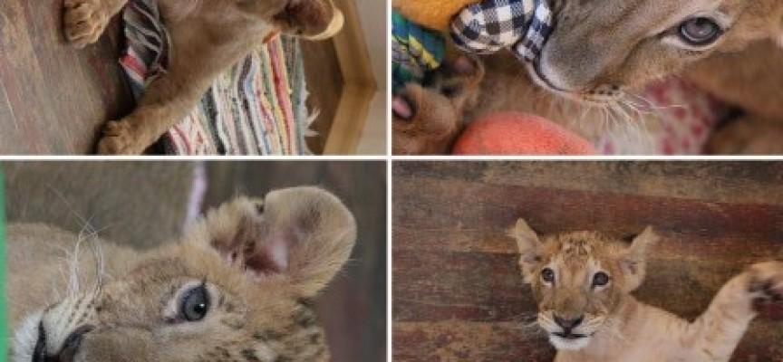 Терез и Масуд идват в Пазарджик, цялата история на лъвчетата от раждането им до днес