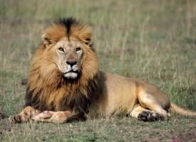 Окончателно: Ще имаме лъв в зоокъта