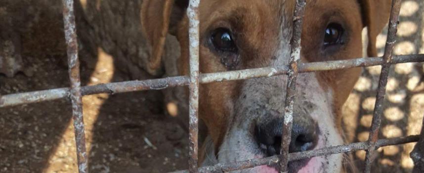 Пращат временно питбула от Мокрище в приют за полицейски кучета?