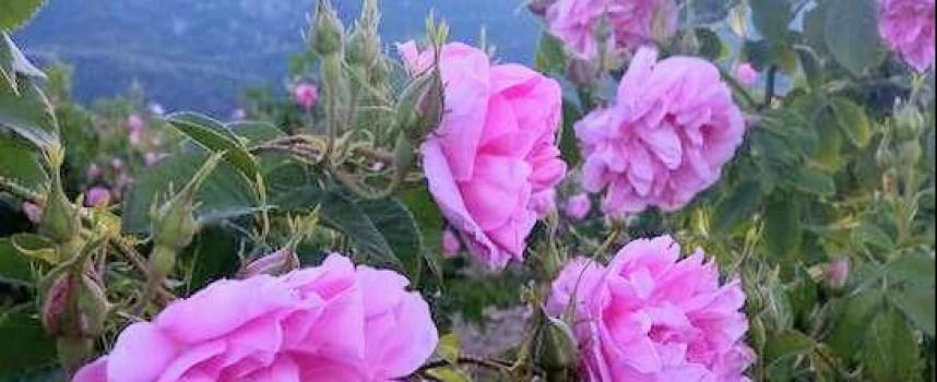 Разглеждат проблема с изкупните цени на розовия цвят в парламента