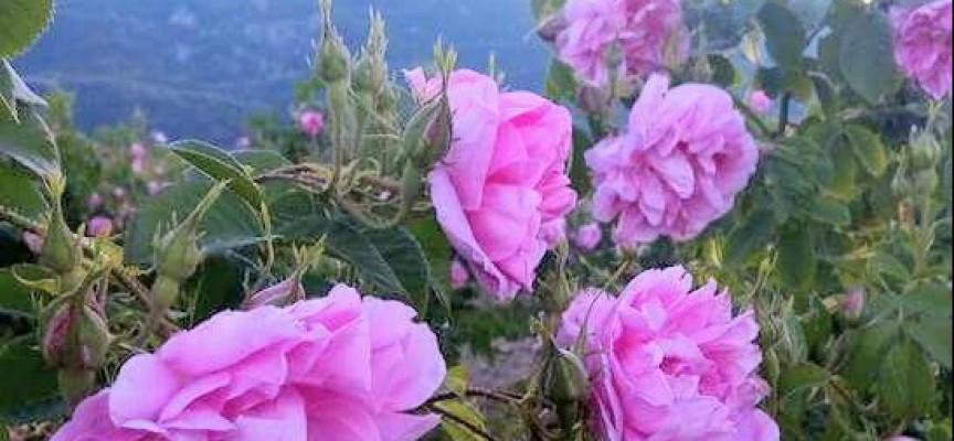 Стрелча излезе на протест срещу ниските изкупни цени на розовия цвят