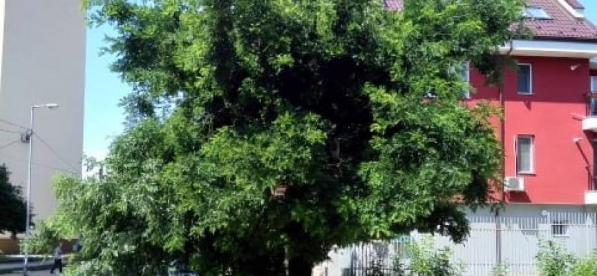 """Читателска връзка: Да окастрят дърветата по ул. """"Димитър Греков"""", не може да се минава под тях"""