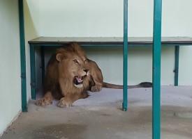 Пазарджик: Имаме си лъвчета в зоокъта – Рая и Хектор пристигнаха днес