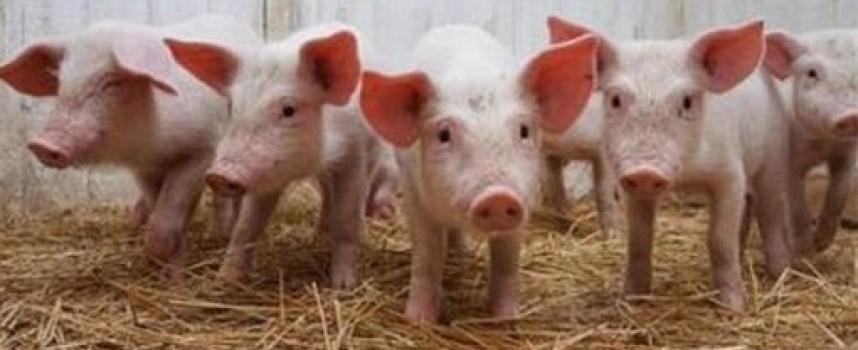 От 2-ри септември: Започват изплащането на обезщетенията за избитите домашни прасета