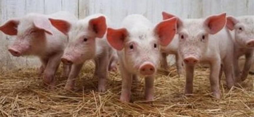 Собственици на прасета: Искаме обезщетения! Няма нито заповед на Областния управител, нито на по-високопоставен, това е безобразие!