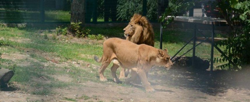 Лъвът Хектор почина, Рая скърби за другарчето си