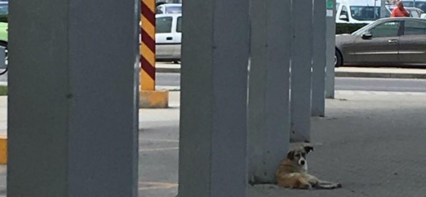 Бездомни кучета лаят и плашат пътниците на Автогарата