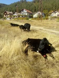 20белово-крави