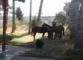 Безстопанствени коне беснеят на Цигов чарк, чупят огради и лампи, хотелиери събират подписка