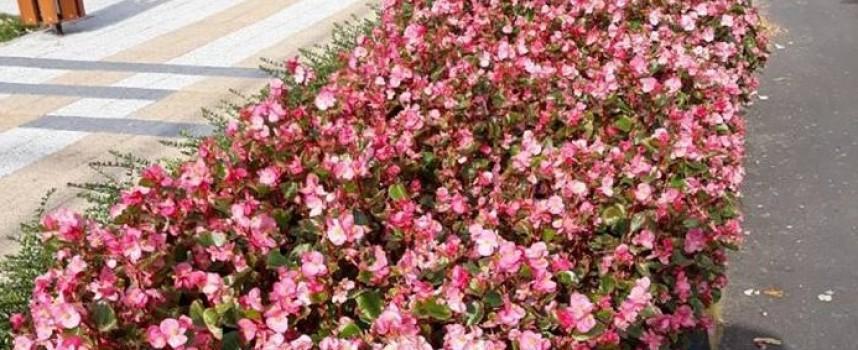 Септември: Започва подмяната на цветята в центъра, вземете си безплатно бегонии