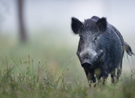 Дорково: Частно стопанство лови диви прасета с капани, за да ги вкара в територията си