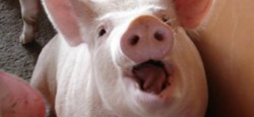 Хората: Повечето от прасетата са изклани, неизбежно е
