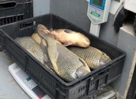 Инспектори по храните конфискуваха 60 кг. месо и 25 кг. шаран в Пазарджик