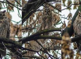 Горски ушати сови продължават да обитават градските паркове на Пазарджик