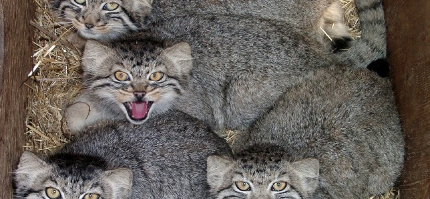 В Озерск: Хищна котка манул уби крадец и прогони двама