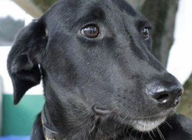Бургаски черен лабрадор спаси стопанката си от пожар в Бон