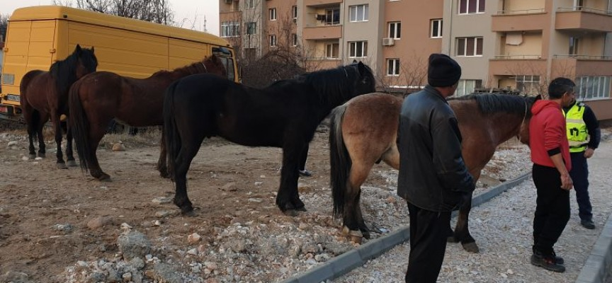 Хванаха безстопанствени коне в землището на Радилово