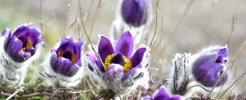 Проверки на РИОСВ – Пазарджик не установиха търговия с редки пролетни цветя