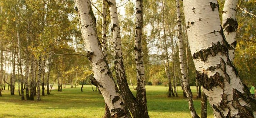 Истории за дърветата: Защо руснаците не искат брези в двора си?