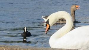 25хайд парк-лебед