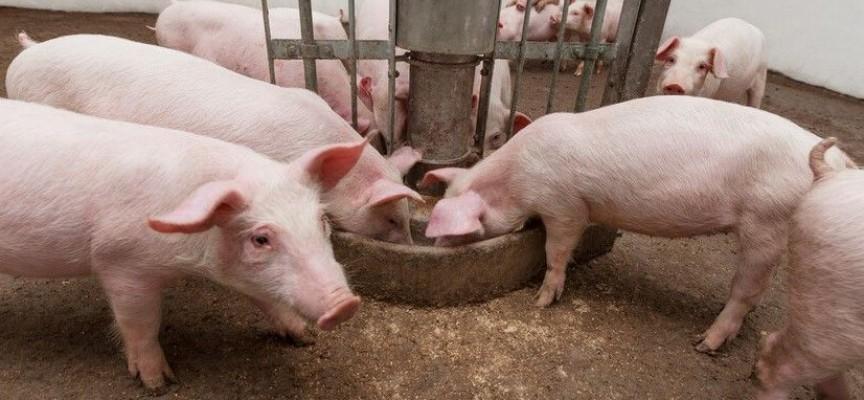 Пазарджик: Протестът срещу превантивното клане на прасета е днес в 16 ч.