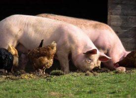 УТРЕ: Полиция и ветеринарни инспектори тръгват на проверки за прасета