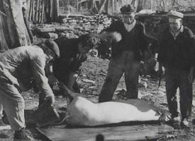 В областта: Започнаха свинските погребения, ще продължат и утре
