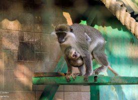 """Бебе забавлява с маймунджилъци посетителите на парк – остров """"Свобода"""""""