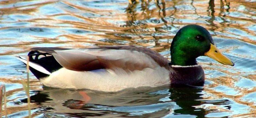 Зимуващите в реките и язовирите на област Пазарджик водолюбиви птици са по-малко заради топлата зима