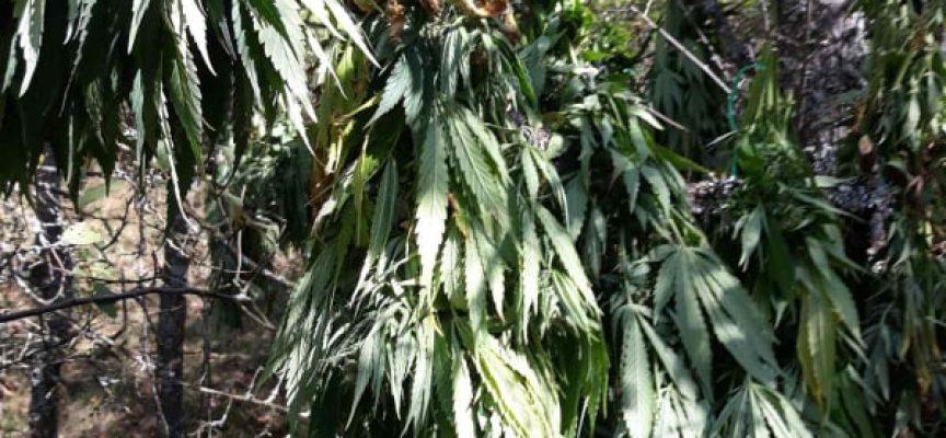 Арестуваха двама и иззеха 67 кг. марихуана от две плантации в Поибрене и Овчеполци