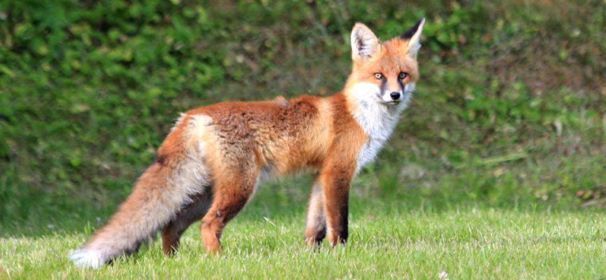 Котка и лисиче ядат заедно, Кума Лиса редовно навестява вила в Бяга