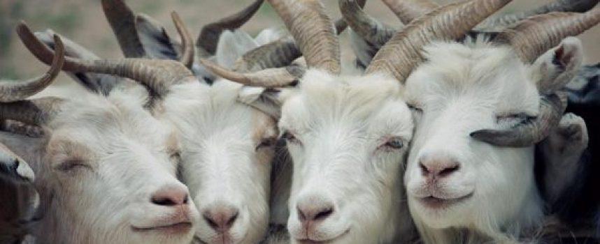 40-годишен пазарджиклия стрелял с въздушна пушка по три кози в Септември